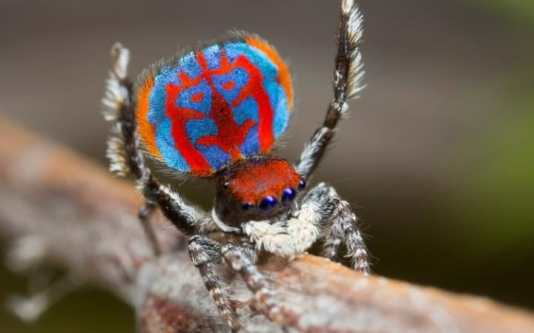 99933028_a_specimen_of_the_newly-discovered_australian_peacock_spider_maratus_bubo_shows_off_his_col-large_transeo_i_u9apj8ruoebjoaht0k9u7hhrjvuo-zlengruma