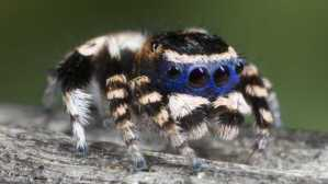 extra_large-1464366174-1428-adorable-new-species-of-peacock-spider-discovered