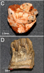 Examples of embryonic dinosaur teeth used for analysis. Fig. 2C & 2D from Erickson et al. 2017. (Click to enlarge)