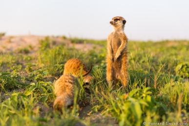 foraging_meerkats